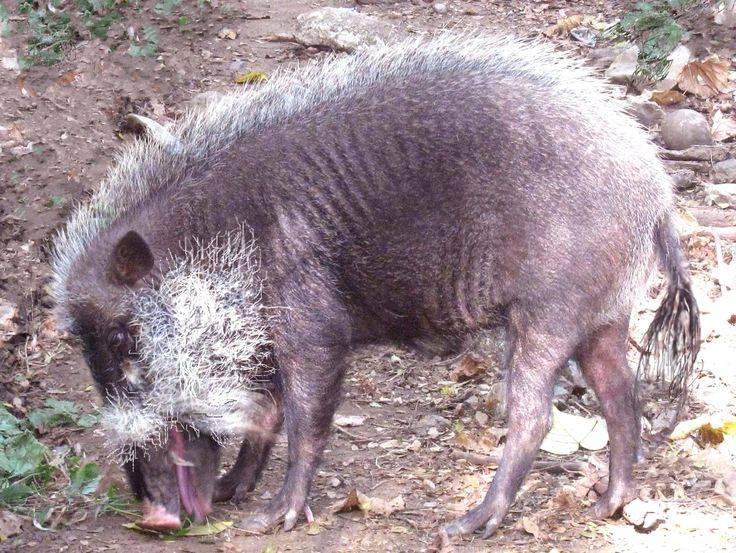 Палаванская бородатая свинья фото