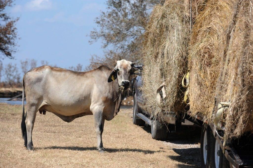 Пища коров фото
