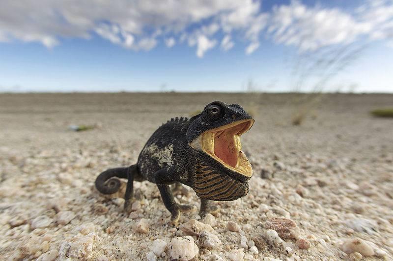 Пустынный хамелеон в защитной позе