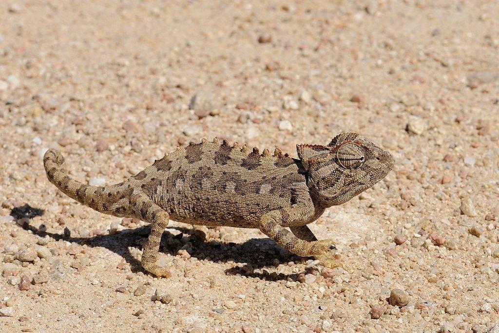 Пустынный хамелеон (лат. Chamaeleo namaquensis)