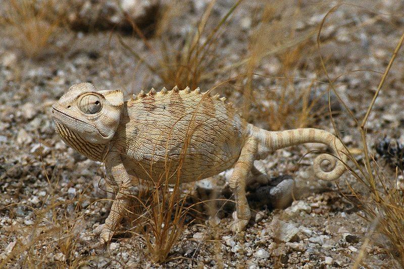 Пустынный хамелеон