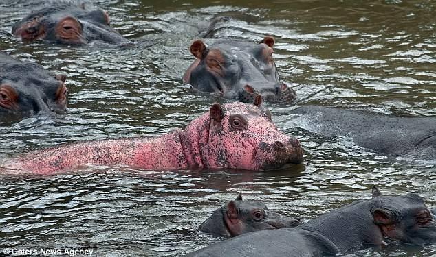 Редкий розовый бегемот (гиппопотам)