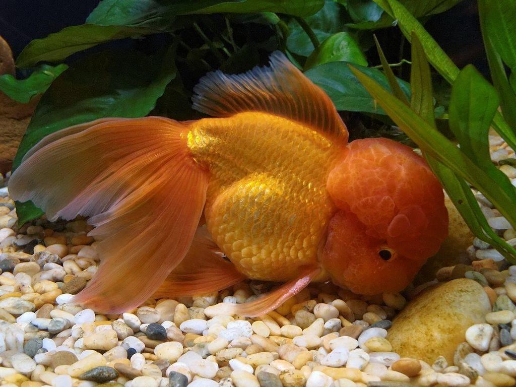 Рыбка оранда апельсинового цвета фото