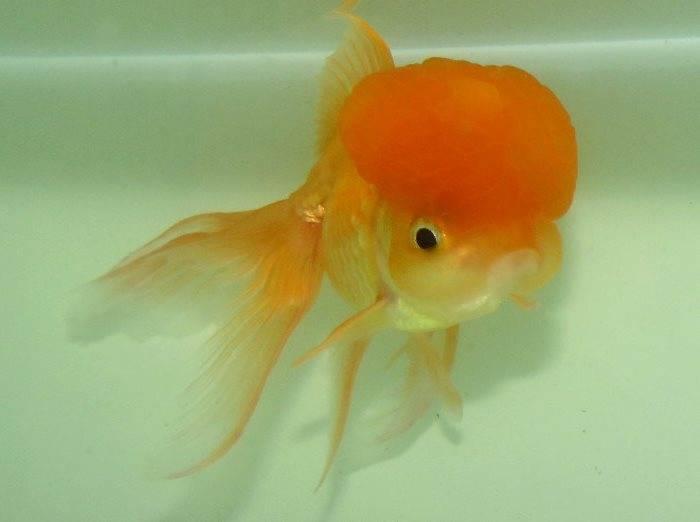 Рыбка оранда золотистая с красной шапочкой фото