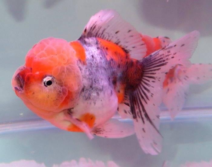 Рыбка оранда пестрая фото