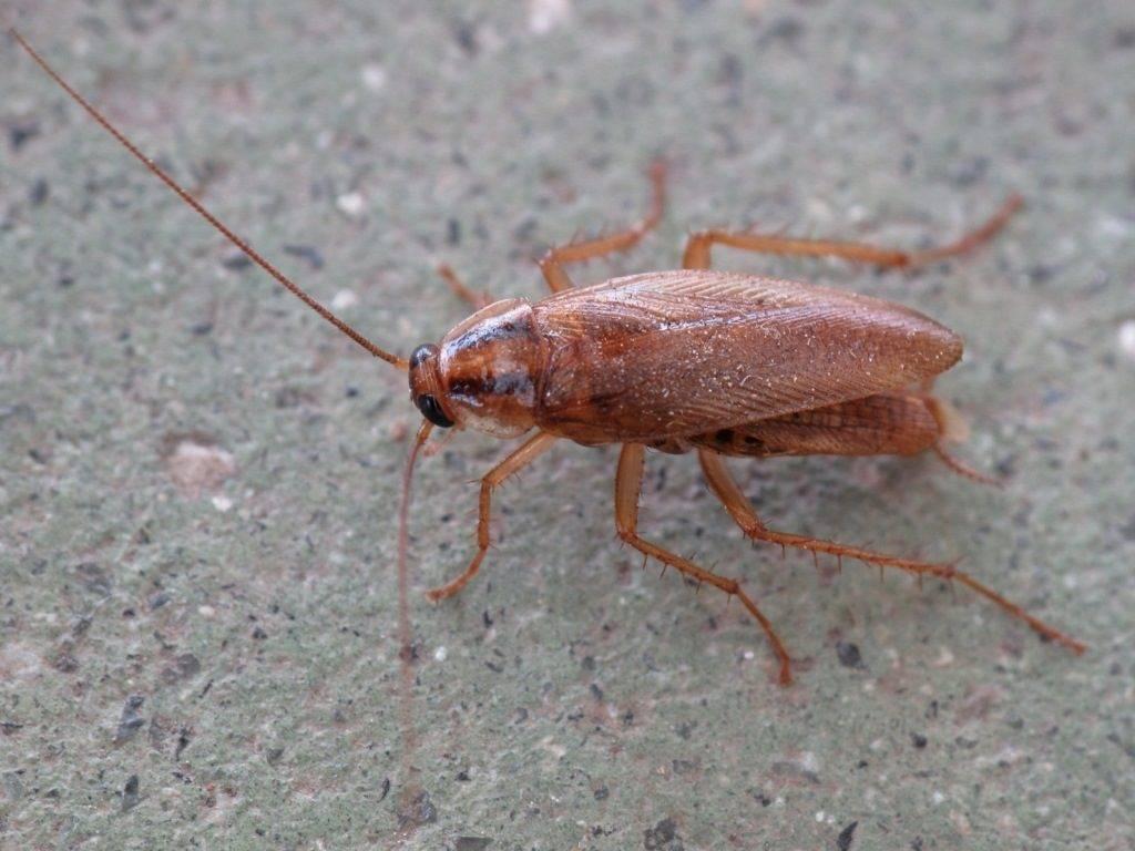 Рыжий таракан (прусак) фото (лат. Blattella germanica)
