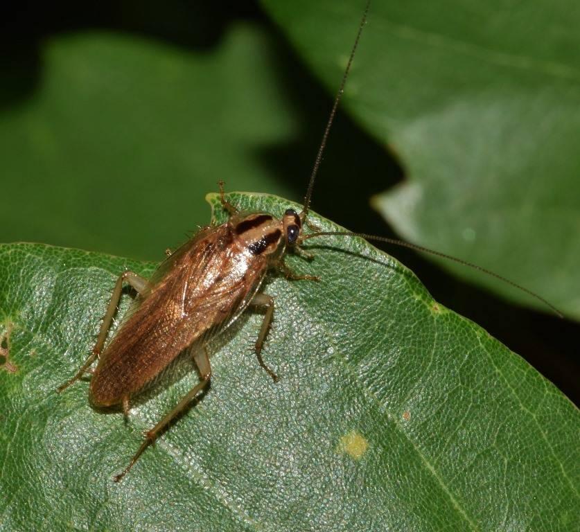Рыжий таракан фото