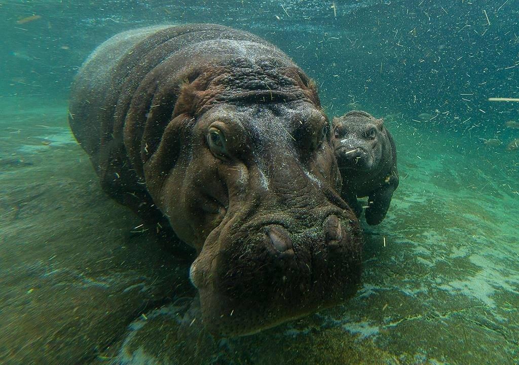 Самка гиппопотама и детеныш под водой