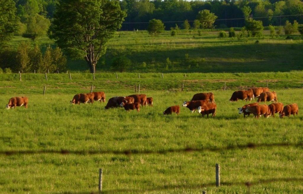 Стадо коров на лугу фото