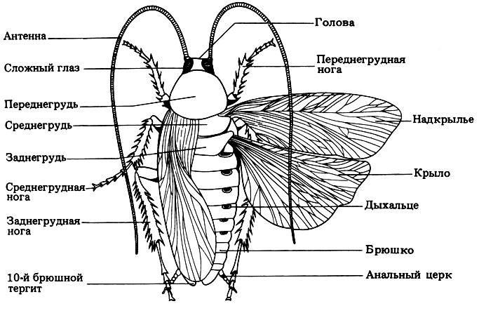 Строение таракана фото