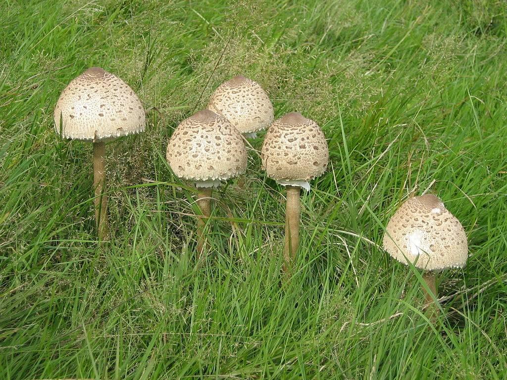Съедобные грибы зонтики фото (вид – пёстрые)