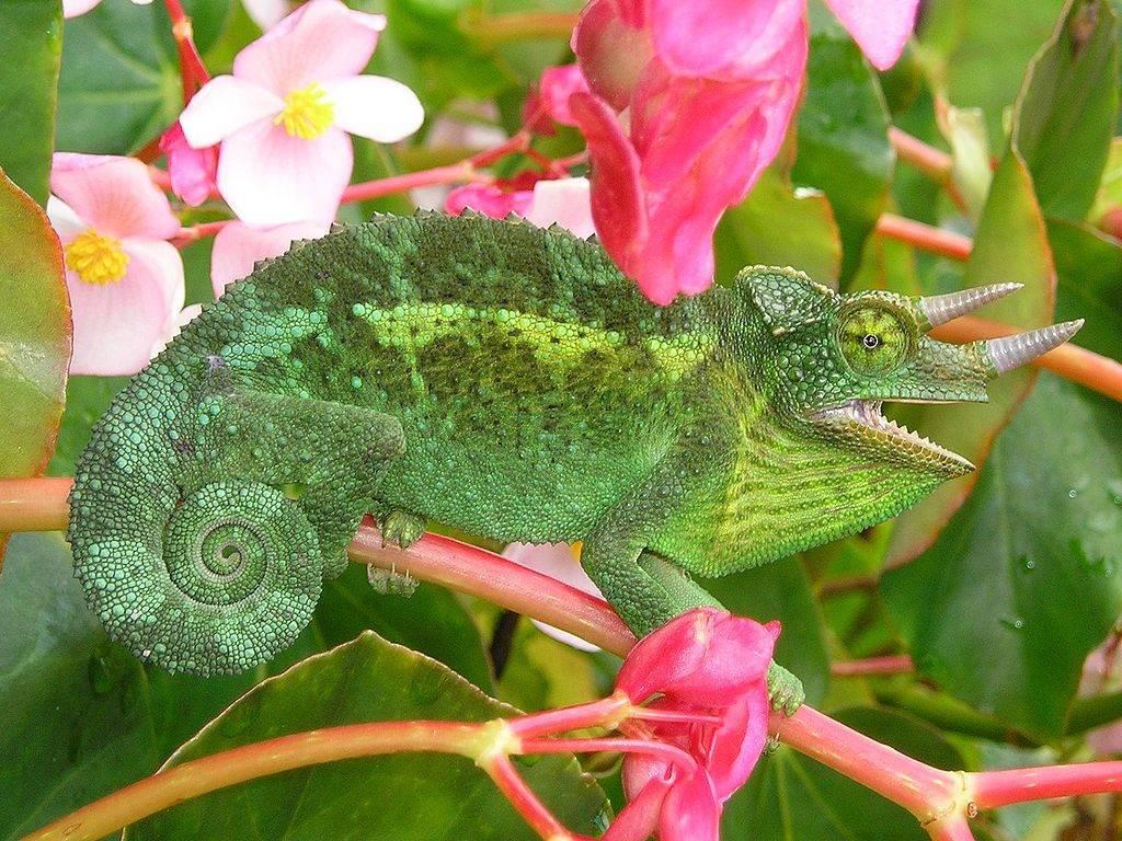Хамелеон Джексона (лат. Trioceros jacksonii)