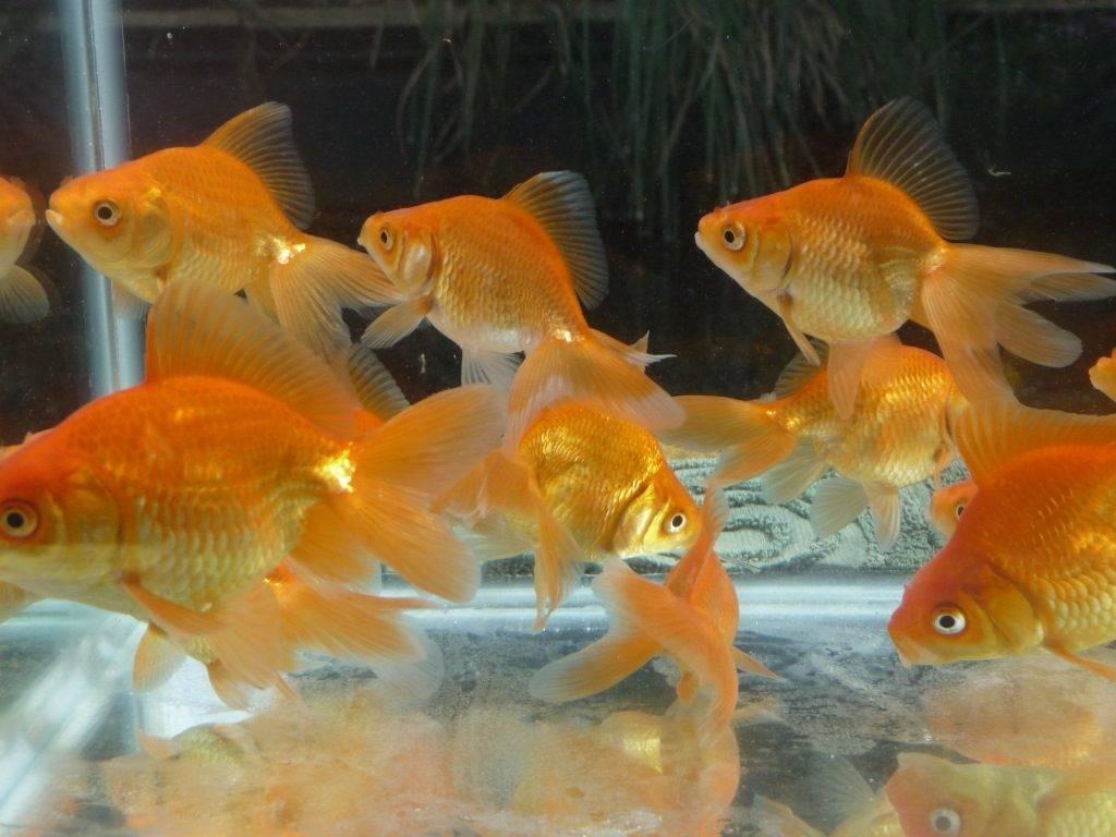 Чем кормить золотых рыбок фото