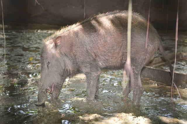 Чем питаются палаванские бородатые свиньи фото