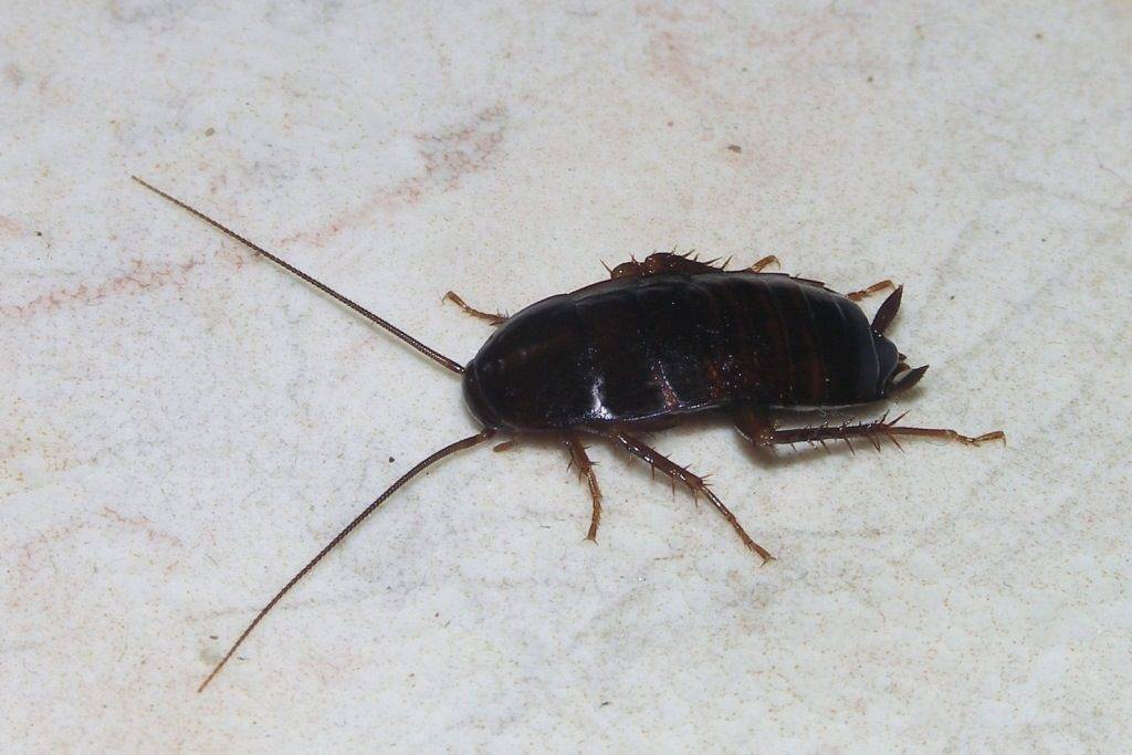 Черный таракан фото (лат. Blatta orientalis)