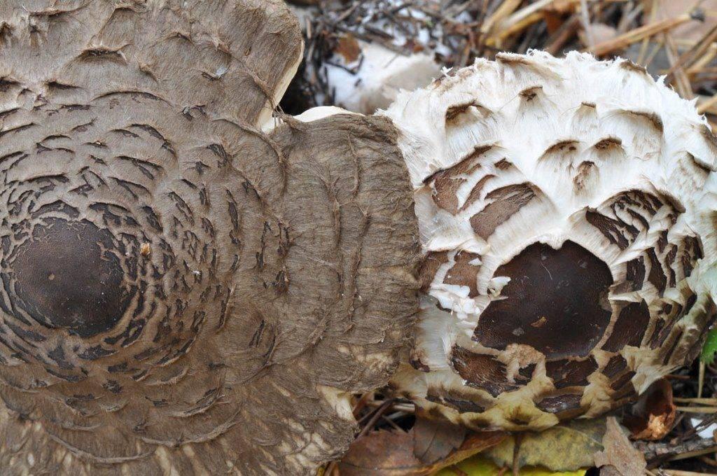 Чешуйки гриба-зонтика фото