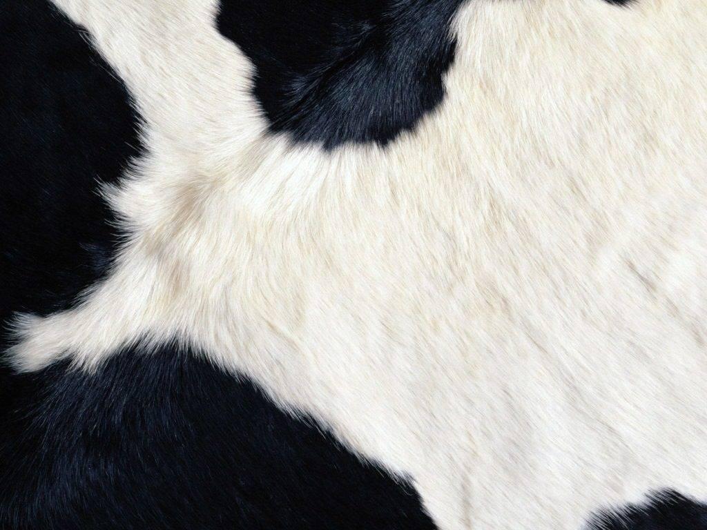Шкура коровы фото