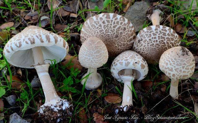 Шляпка молодого гриба-зонтика фото