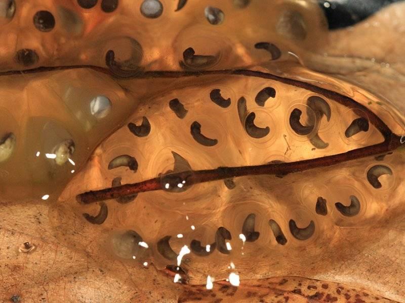 Яйца пятнистоголубой амбистомы фото