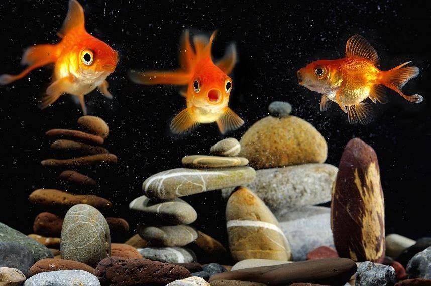 Аквариумная золотая рыбка фото