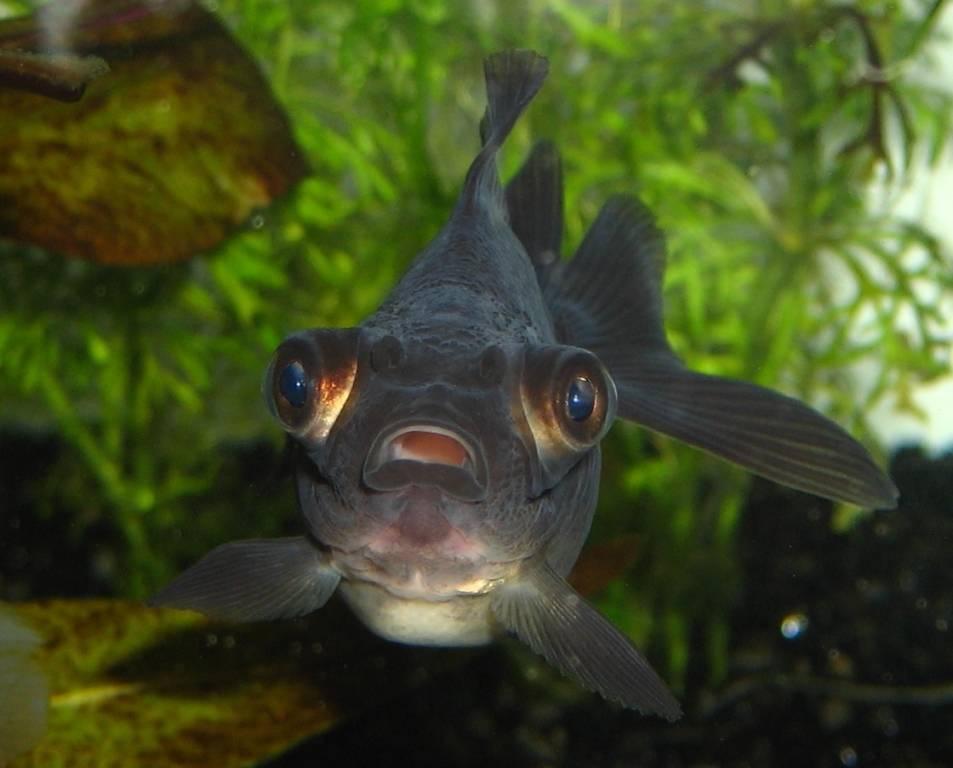Аквариумная золотая рыбка черный телескоп фото