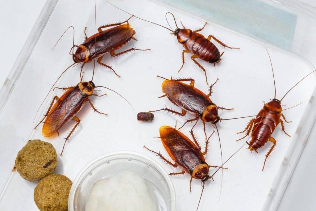 Американские тараканы в домашних условиях