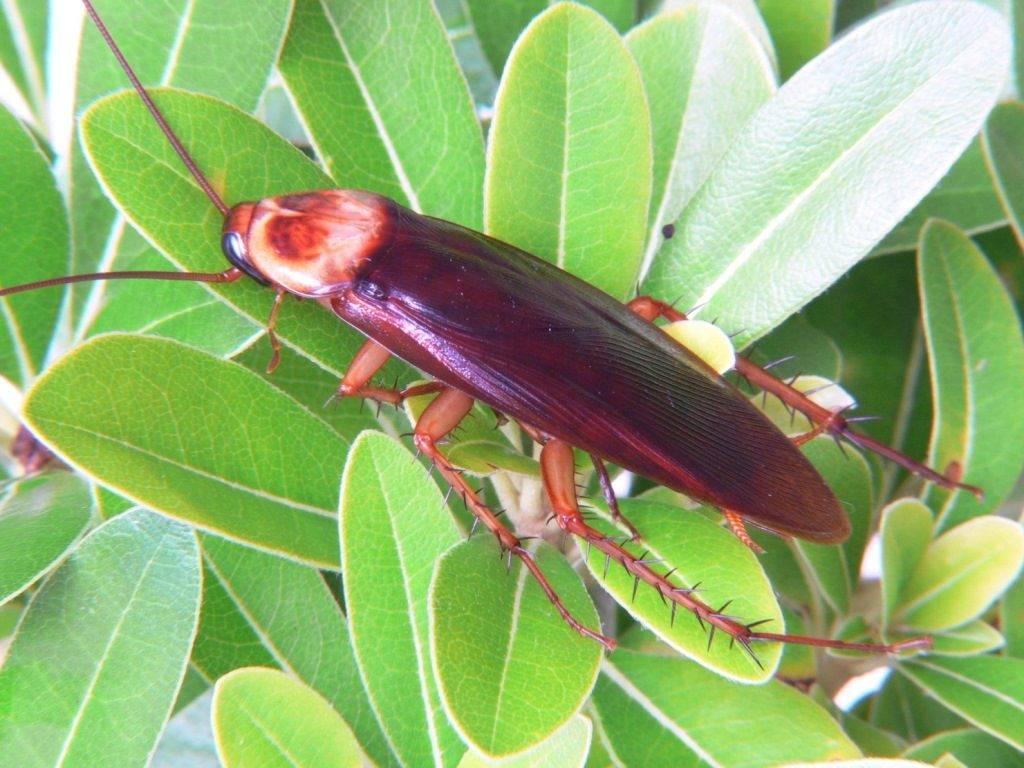 Американский таракан фото (лат. Periplaneta americana)