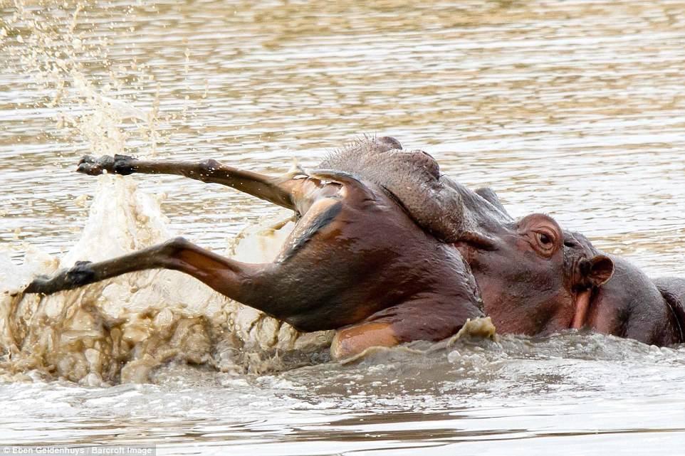 А этот бегемот решил полакомиться антилопой