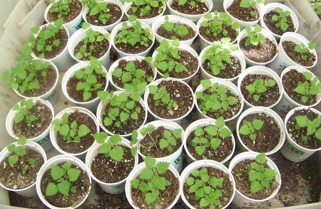 Выращивание крапивы в домашних условиях