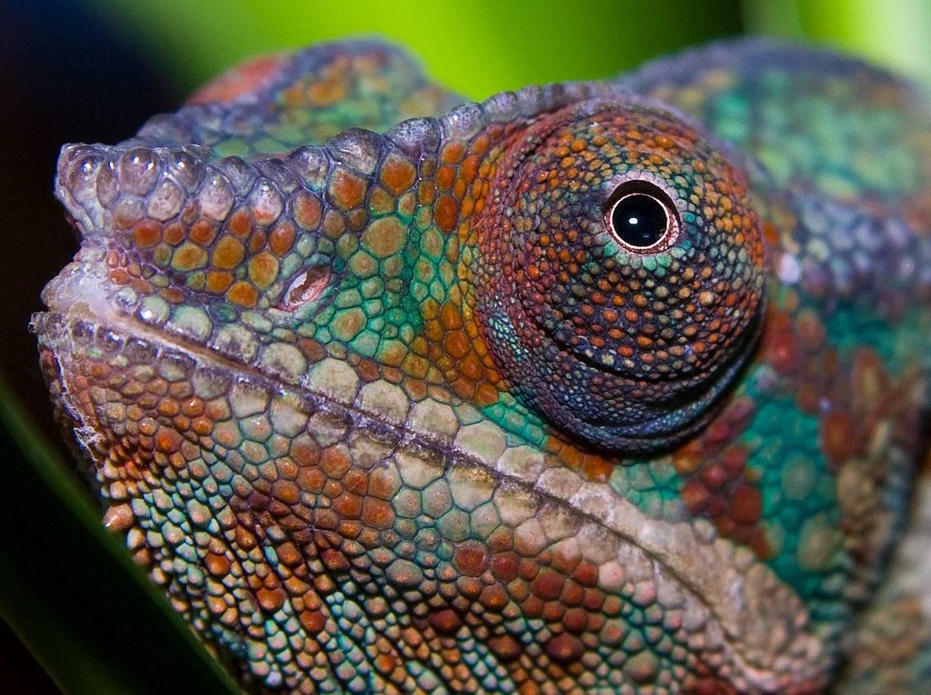 Глаза хамелеона фото