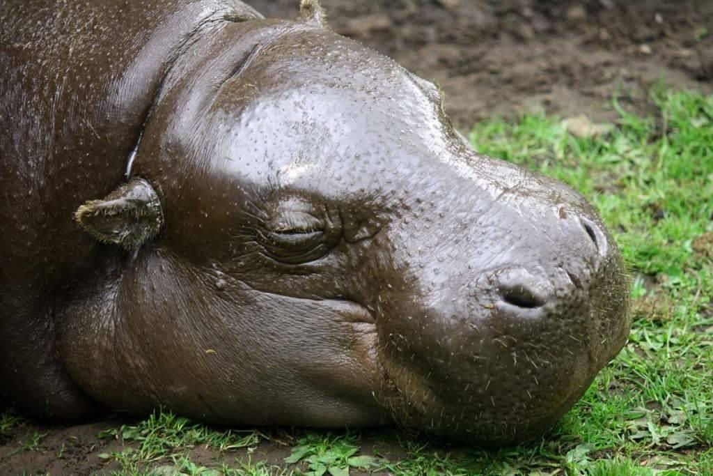 Голова карликового бегемота фото