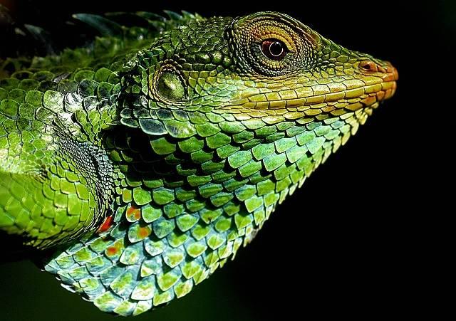 Голова хамелеона фото