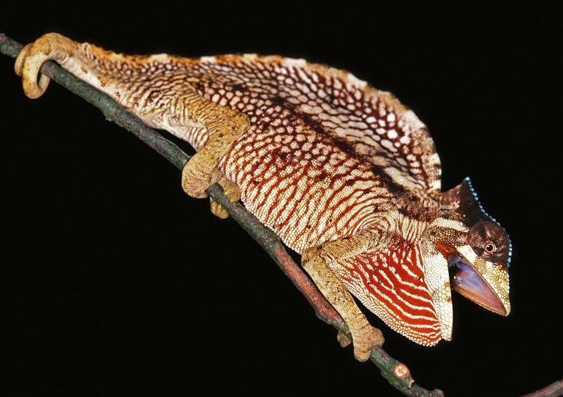 Гребешковый хамелеон фото