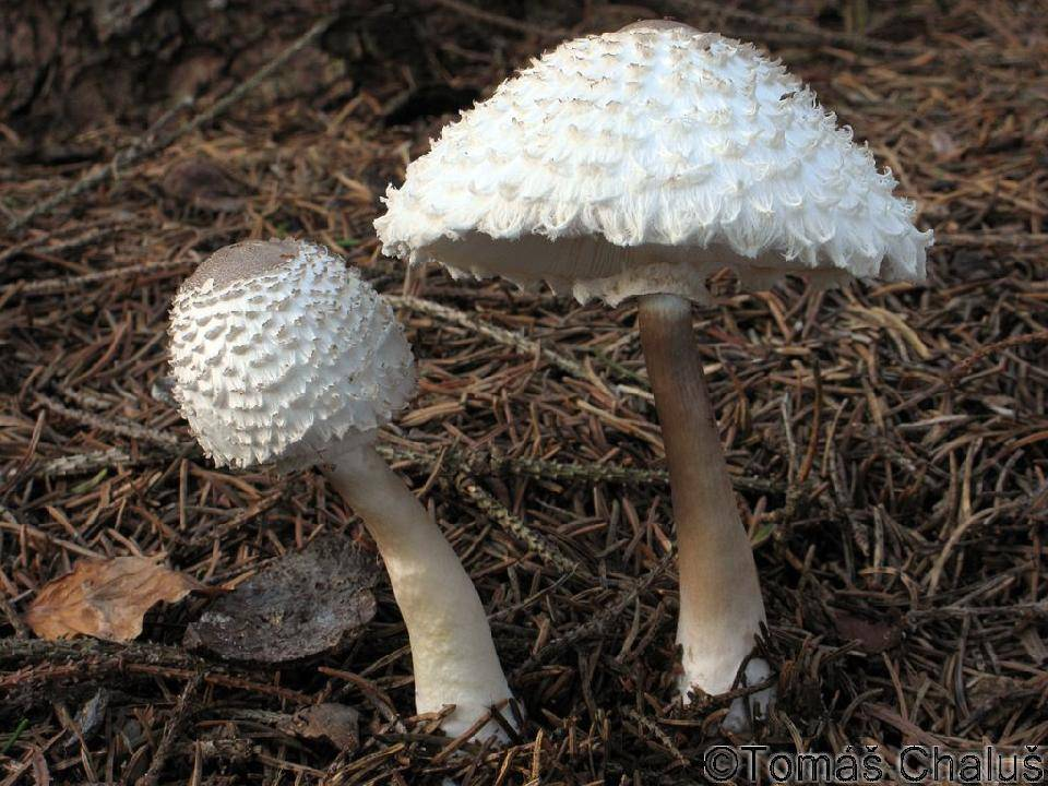 Гриб-зонтик девичий (лат. Leucoagaricus nympharum, Leucoagaricus puellaris)