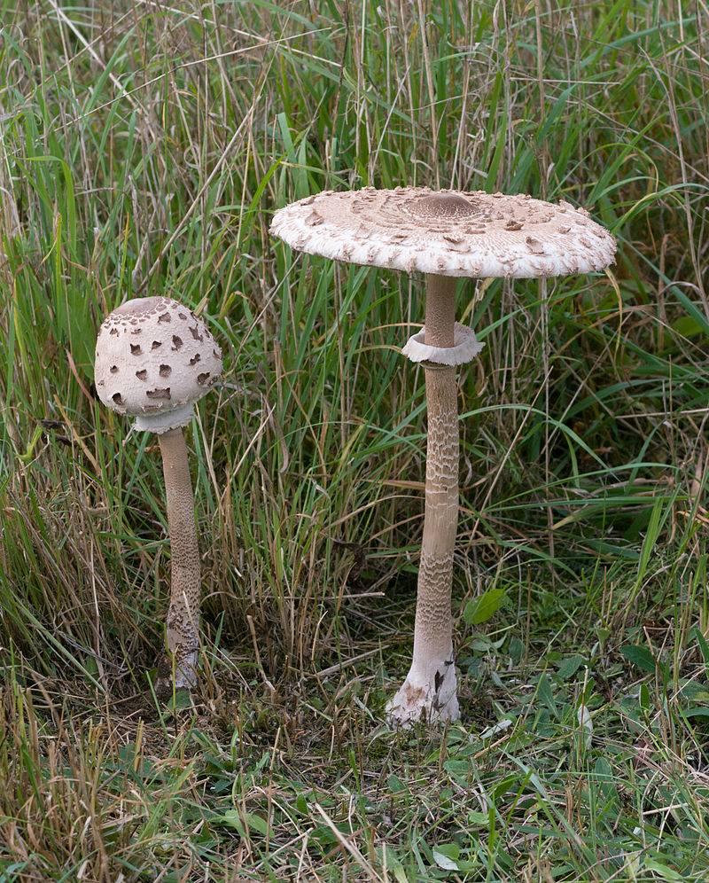 гриб зонтик пёстрый фото и описание