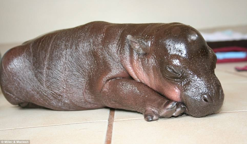 Детеныш карликового бегемота