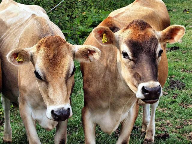 Джерсейская порода коров фото