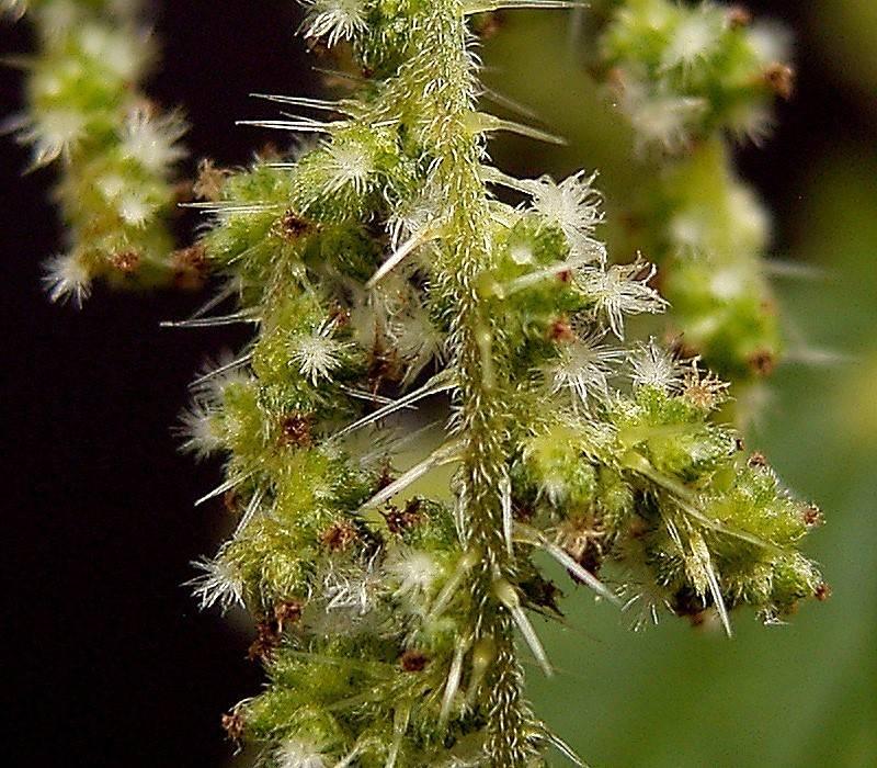 Женские цветы двудомной крапивы фото