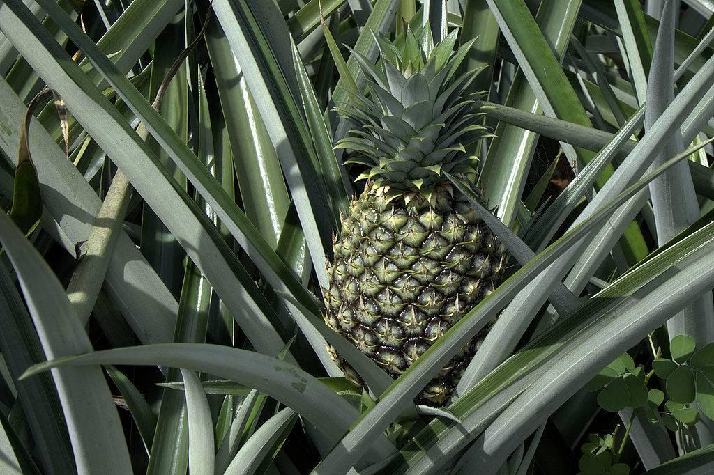Зеленый незрелый ананас фото