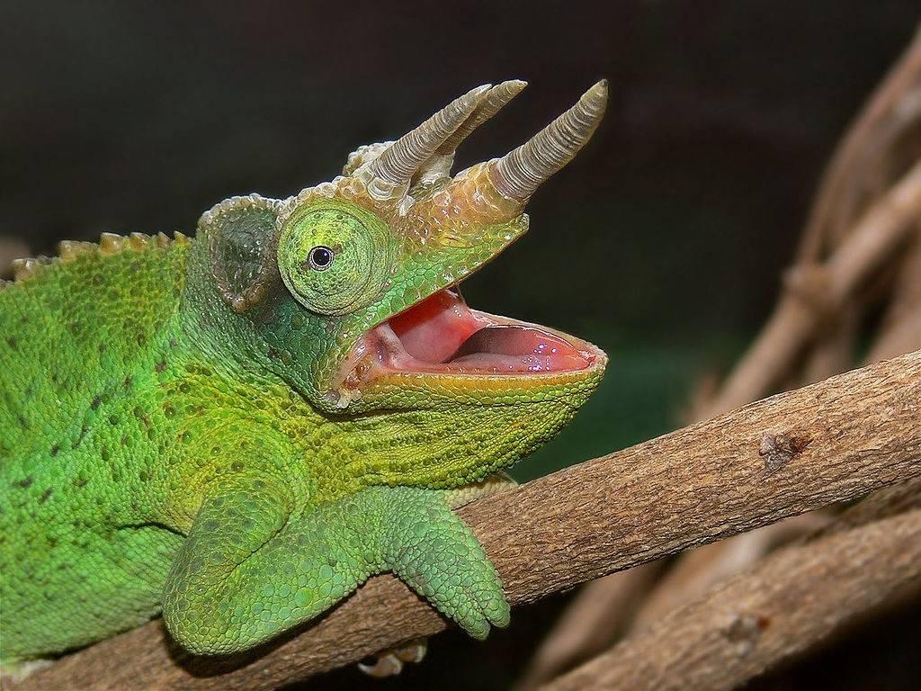 Зеленый хамелеон Джексона