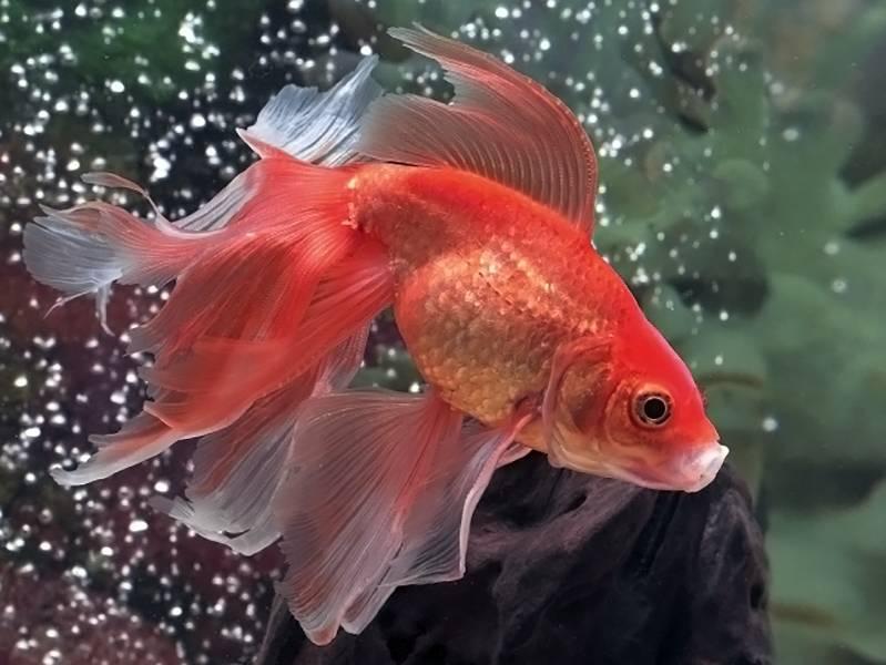 Золотая рыбка Вуалехвост (анг. Veiltail goldfish)