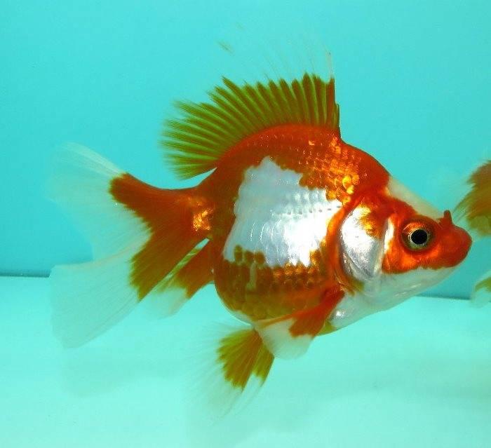 Золотая рыбка Рюкин (риукин, нимфа) (анг. Ryukin goldfish)