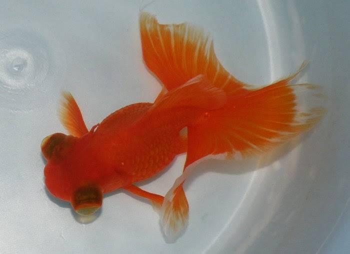 Золотая рыбка бабочка апельсиновая фото