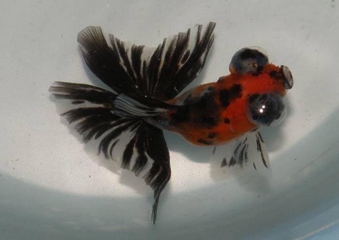 Золотая рыбка бабочка красно-черная фото