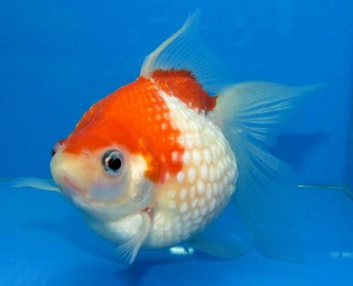Золотая рыбка жемчужинка (анг. Pearlscale goldfish)