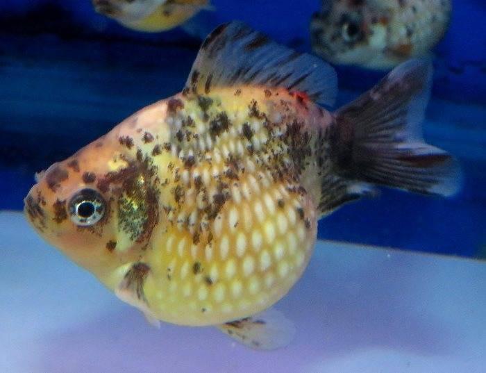 Золотая рыбка жемчужинка черно-белая