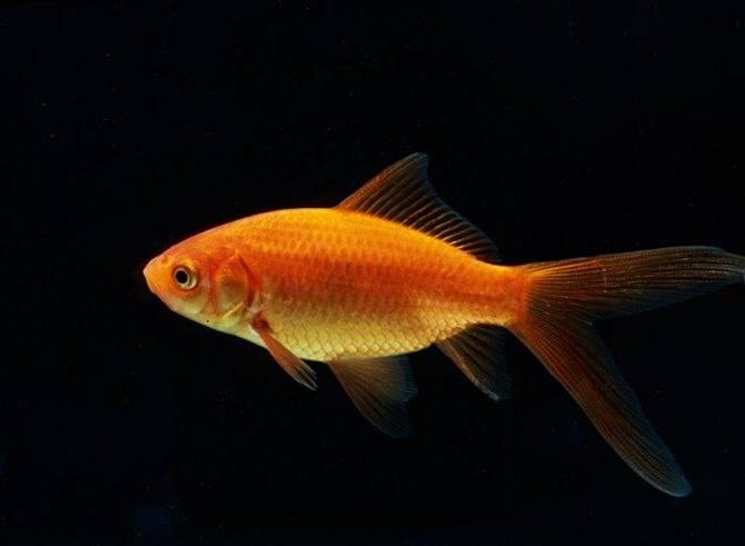 Золотая рыбка комета оранжевая фото
