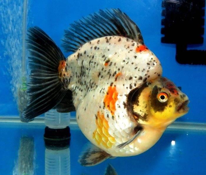 Золотая рыбка нимфа пятнистая фото