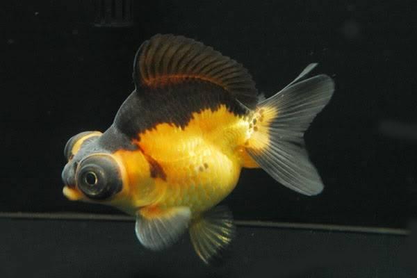 Золотая рыбка породы телескоп