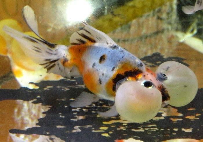 Золотая рыбка пузыреглаз пестрая фото